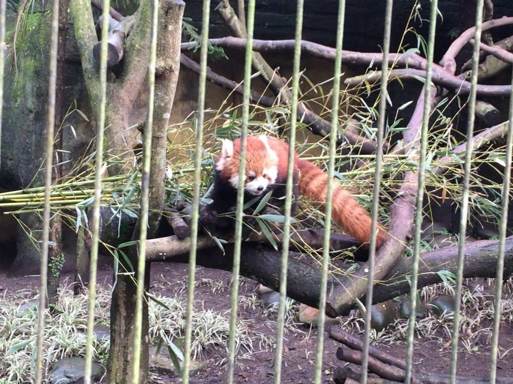 Tim's favourite - the red panda