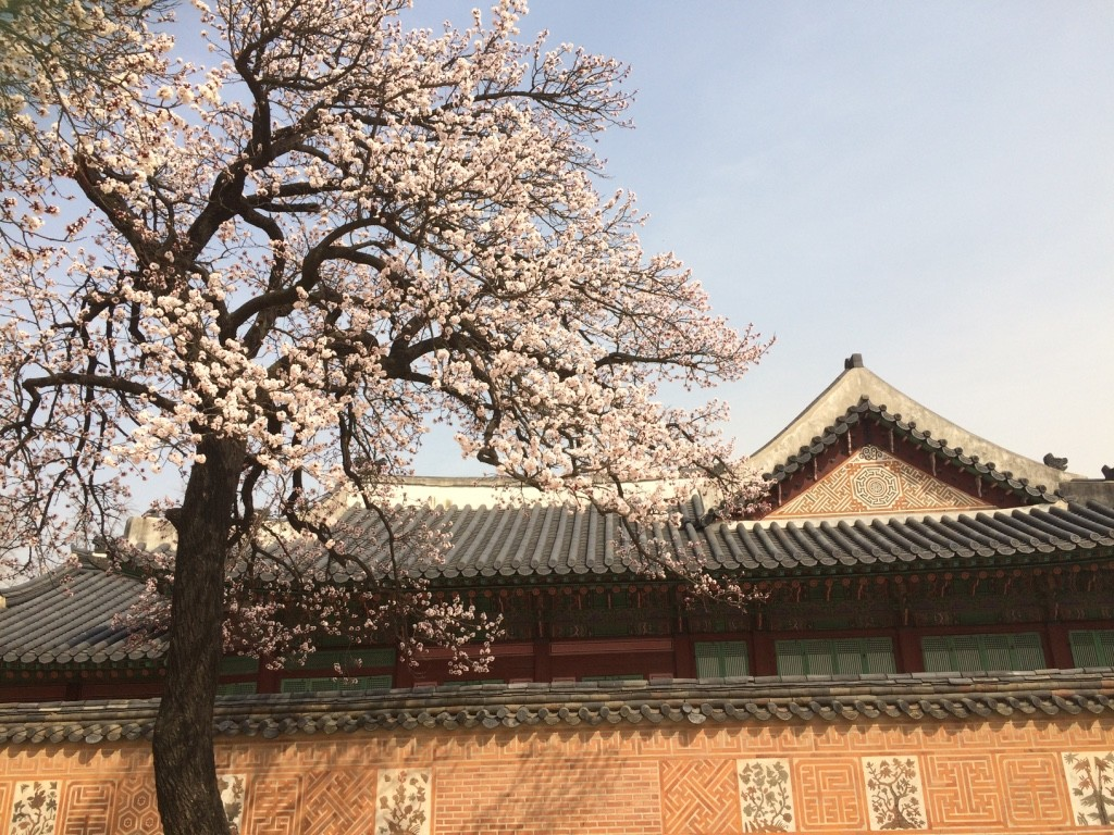 Cherry blossoms are starting to bloom in Seoul