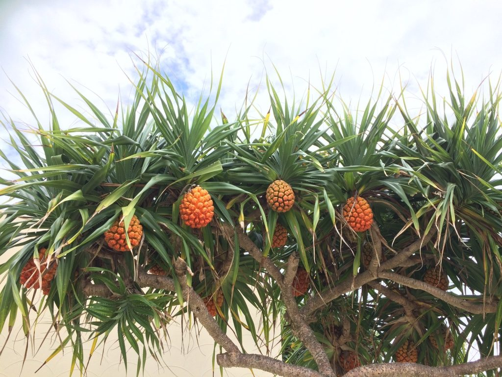 I'm not sure what kind of fruit this is but it we saw a bunch of these trees around Sunset Beach
