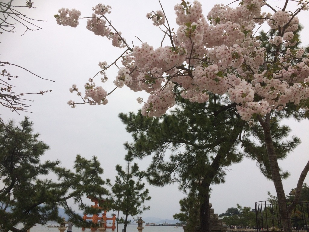 Cherry blossoms around the gate