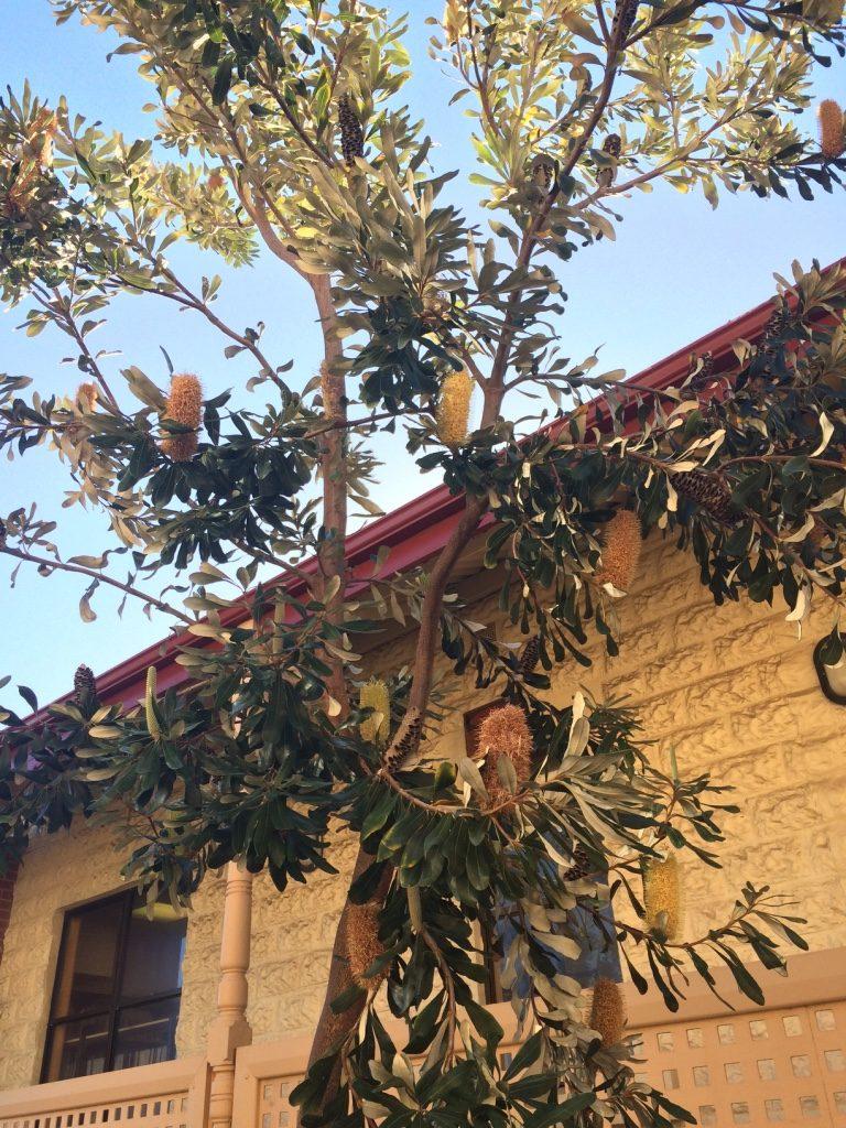 Interesting Aussie trees
