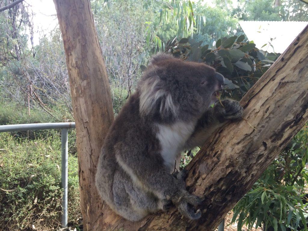 Ash the Koala