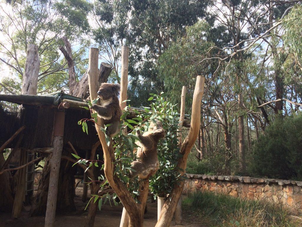 Koalas munching on their new eucalyptus