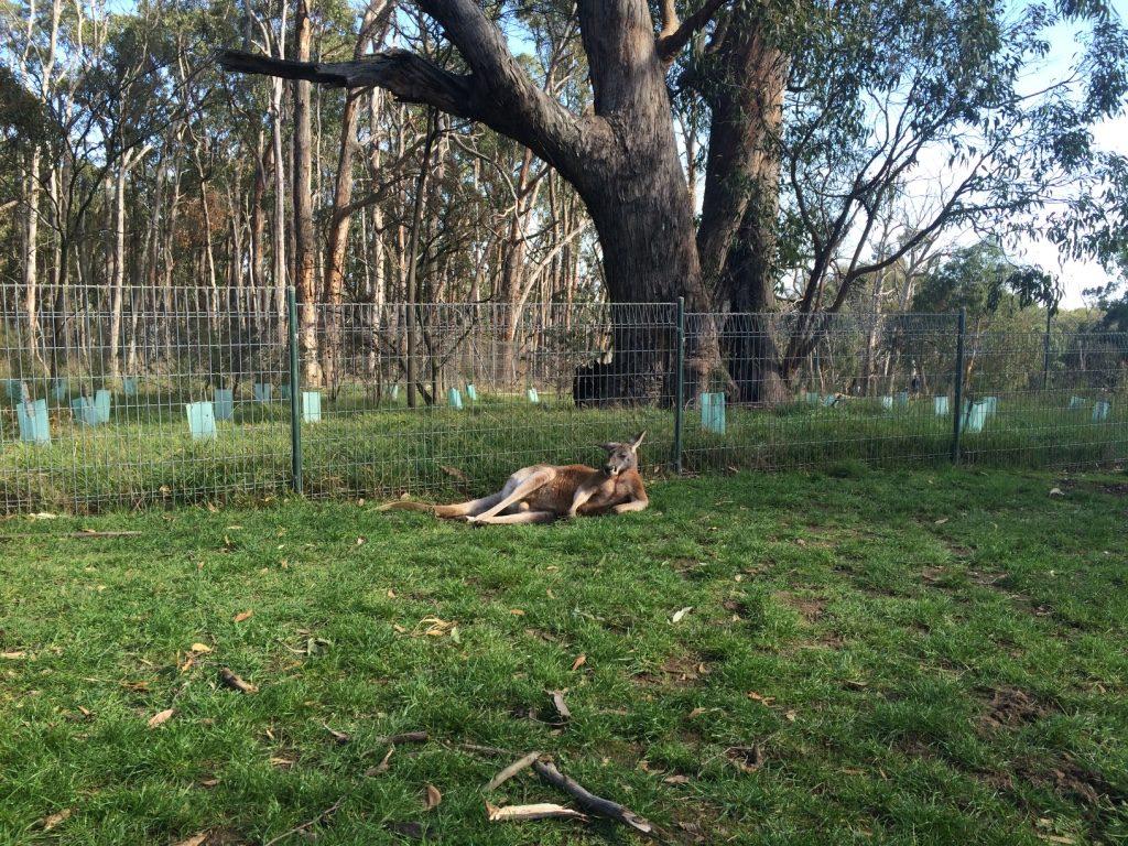 Red kangaroo just chilling