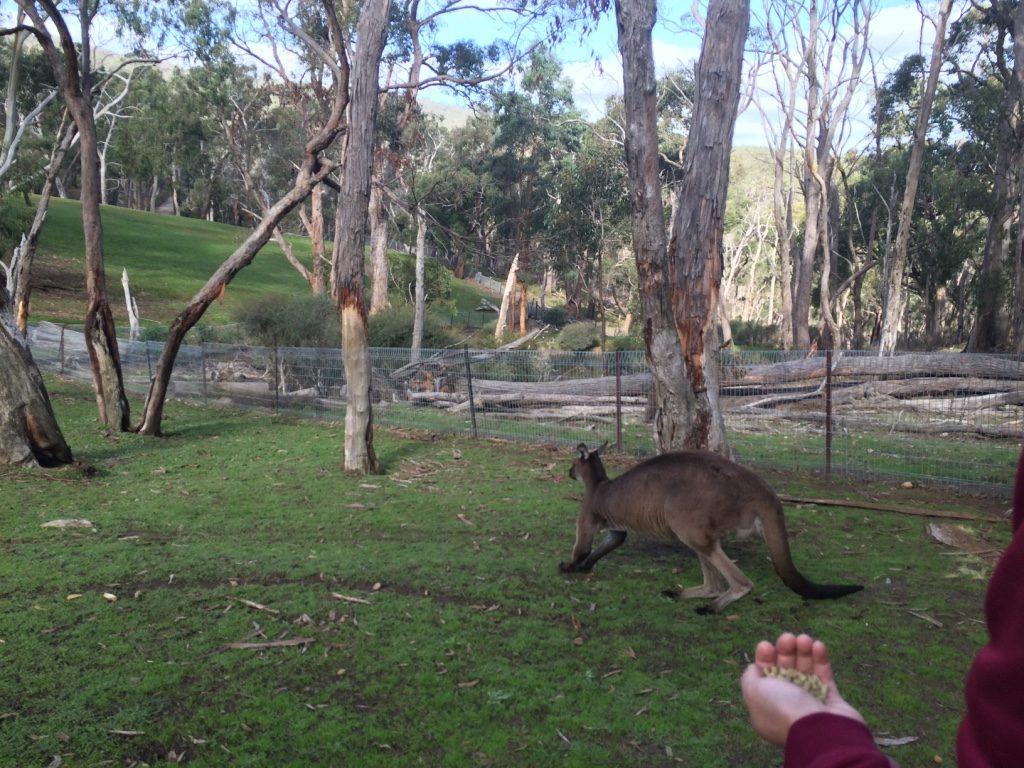 Kangaroo Island kangaroo ran away