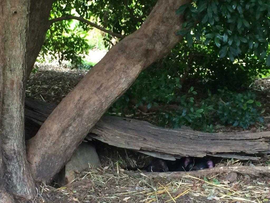 Spot the Tasmanian Devil peeking out at us