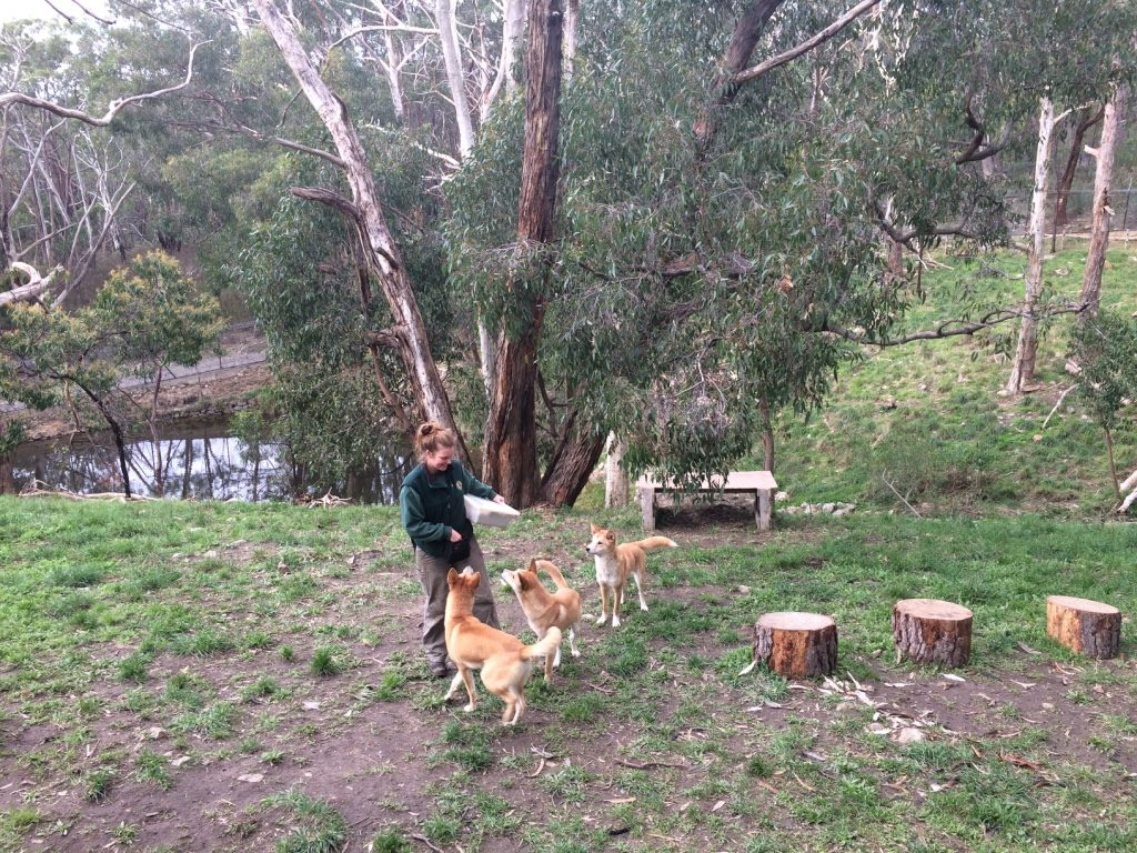 Dingos with their keeper