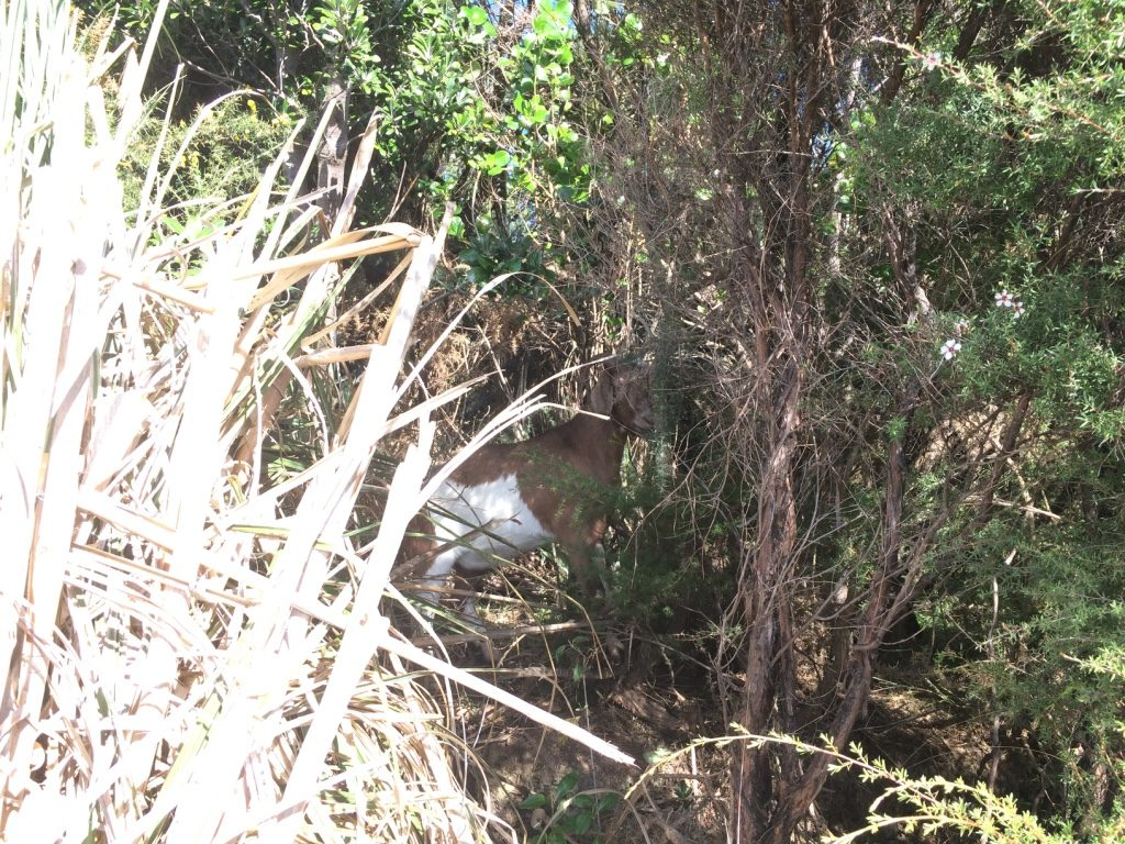 We spotted a bunch of wild goat in the bushes