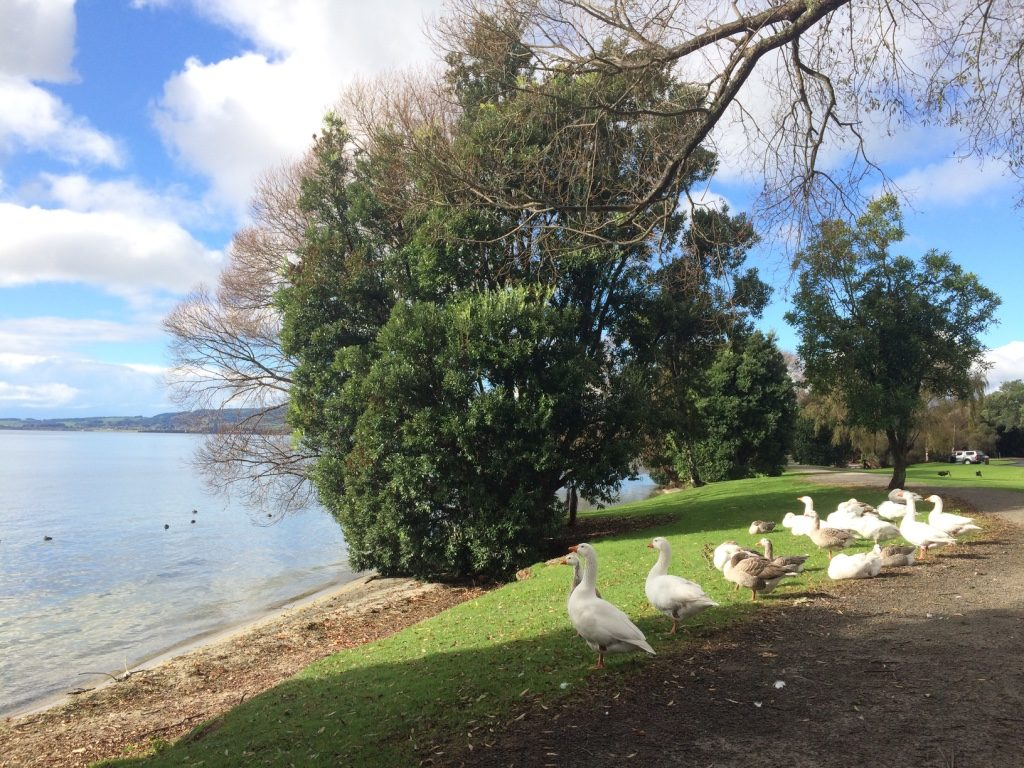 New Zealand geese making a lot of noise